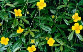 Калган – лечебные свойства и применение в медицине