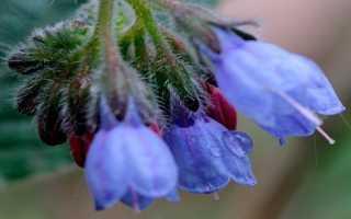 Окопник – лечебные свойства и применение в медицине