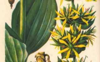 Горечавка – лечебные свойства и применение в медицине