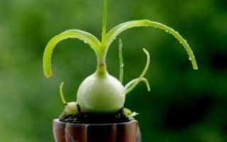 Индийский лук – лечебные свойства и применение в медицине