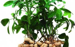 Калорийность арахиса жареного