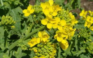 Горчица – лечебные свойства и применение в медицине