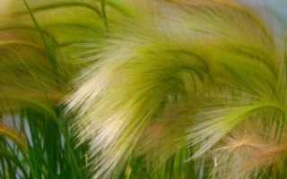 Ковыль – лечебные свойства и применение в медицине