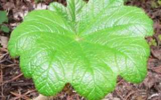 Заманиха – лечебные свойства и применение в медицине