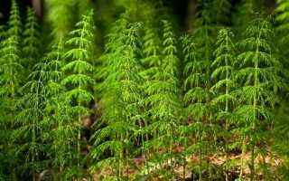 Хвощ полевой – лечебные свойства и применение в медицине
