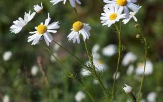 Ромашка – лечебные свойства и применение в медицине