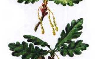 Дуб – лечебные свойства и применение в медицине