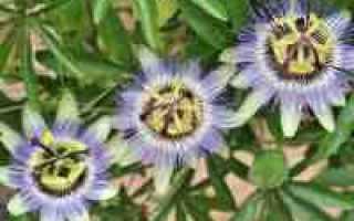 Пассифлора – лечебные свойства и применение в медицине
